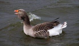 Ganso de pato bravo europeu Foto de Stock Royalty Free