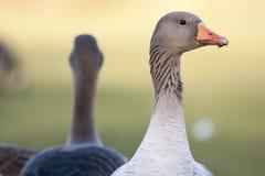 Ganso de pato bravo europeu Fotografia de Stock Royalty Free