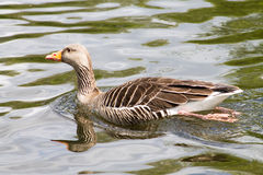 Ganso de pato bravo europeu Foto de Stock