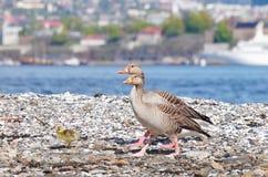 Ganso de pato bravo europeu (anser) do Anser - 2 adultos + 1 bebê Fotos de Stock