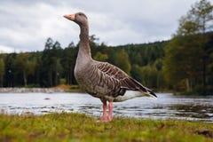 Ganso de pato bravo europeu com o bico alaranjado no parque com fundo do céu azul e do lago fotografia de stock royalty free