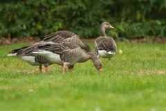 Ganso de pato bravo europeu em jardins Londres de Kew Imagem de Stock Royalty Free