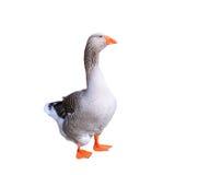 Ganso de pato bravo europeu isolado no branco Fotografia de Stock