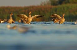 Ganso de pato bravo europeu no delta de Nemunas Imagem de Stock