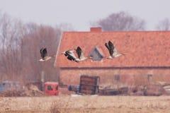 Ganso de pato bravo europeu no voo do delta de Nemunas Imagens de Stock Royalty Free