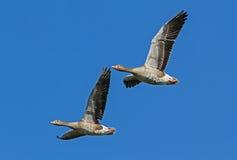 Ganso de pato bravo europeu no voo do delta de Nemunas Imagem de Stock Royalty Free