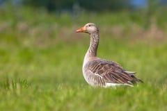 Ganso de pato bravo europeu que alimenta na grama Fotografia de Stock Royalty Free