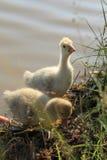 Ganso del bebé cerca del lago Imagenes de archivo