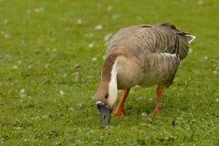 Ganso del cisne Imagen de archivo libre de regalías