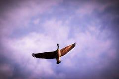 Ganso del vuelo foto de archivo libre de regalías