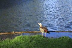 Ganso do nada, ganso na costa do lago na luz solar Imagem de Stock Royalty Free