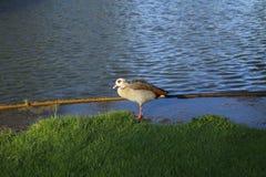 Ganso do nada, ganso na costa do lago na luz solar Imagem de Stock