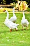 Ganso doméstico branco Foto de Stock Royalty Free