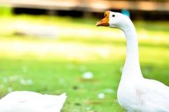 Ganso doméstico branco Fotos de Stock Royalty Free