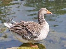 Ganso doméstico na lagoa no dia Fotos de Stock Royalty Free