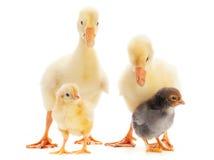 Ganso e galinha do bebê imagens de stock royalty free