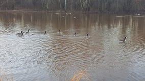 Ganso e gansos em uma lagoa no parque da manhã da mola imagem de stock royalty free
