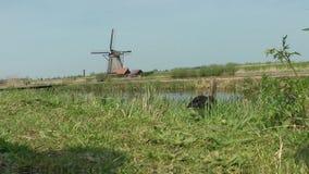 Ganso e moinho de vento cinzentos filme