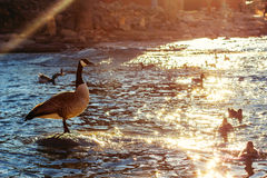 Ganso e patos de Canadá Foto de Stock Royalty Free