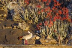 Ganso egipcio en el parque nacional de Kruger, Suráfrica Fotos de archivo