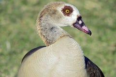 Ganso egipcio, pájaro sagrado Fotos de archivo libres de regalías