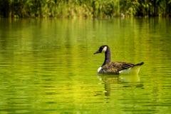 Ganso em um lago Imagens de Stock