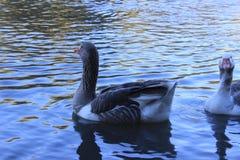 Ganso en el lago,鹅在湖 库存照片