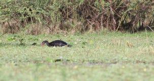 ganso Estímulo-con alas en prado almacen de metraje de vídeo