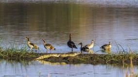 ganso Estímulo-con alas, ganso egipcio, cocodrilo del Nilo en Kruger Nati Foto de archivo libre de regalías