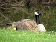 Ganso Gosling de Canadá del bebé y ganso de Canadá de la madre Imagenes de archivo