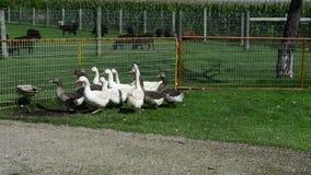 Ganso, granja de los gansos almacen de video