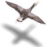Ganso gris en vuelo ilustración del vector