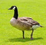 ganso no campo verde Imagem de Stock Royalty Free