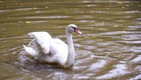 Ganso nos gansos brancos da água marrom em lagoas sujas Fotografia de Stock Royalty Free