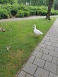 Ganso ou pato branco na grama Imagens de Stock Royalty Free