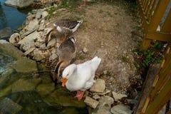 Ganso, pato, anatide o lago Fotografia de Stock Royalty Free