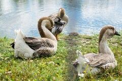 Ganso que anda e que senta-se na grama em um jardim zoológico perto de uma lagoa em w foto de stock