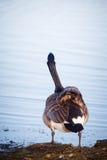 Ganso que anda no lago em um parque em Helsínquia Foto de Stock