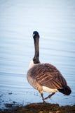 Ganso que anda no lago em um parque em Helsínquia Imagem de Stock Royalty Free