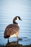 Ganso que anda no lago em um parque em Helsínquia Imagens de Stock Royalty Free