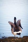 Ganso que anda no lago em um parque em Helsínquia Imagem de Stock