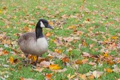 Ganso que camina en las hojas de otoño Fotografía de archivo