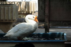 Ganso que embebe e que joga a água na banheira Imagem de Stock