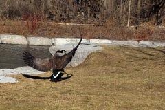 Ganso que persigue otros gansos fuera de la charca Foto de archivo libre de regalías