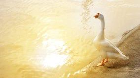 Ganso que se coloca en el riverbank en puesta del sol Imagenes de archivo