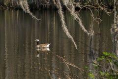 Ganso que se desliza en el lago meridional y el musgo español Fotos de archivo libres de regalías