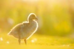 Ganso silvestre Gosling en luz del sol de la tarde Imágenes de archivo libres de regalías
