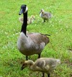 Ganso y bebés de la mamá Foto de archivo libre de regalías