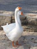 Ganso y el ganso Imagen de archivo libre de regalías