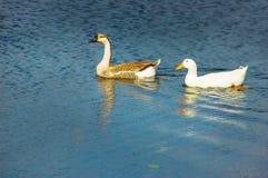 Ganso y pato en la charca Imagen de archivo libre de regalías